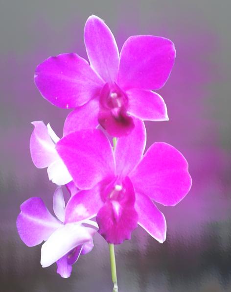 orchidée-run-essence