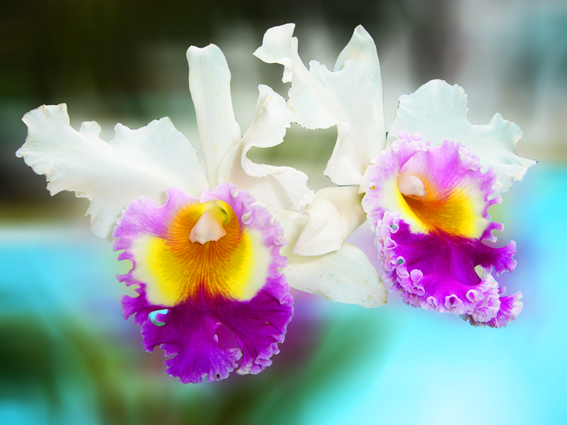 orchidée réunion