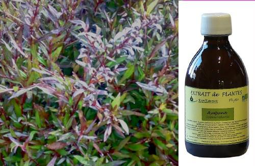 Extrait de plante Ayapana pour le confort digestif et intestinal